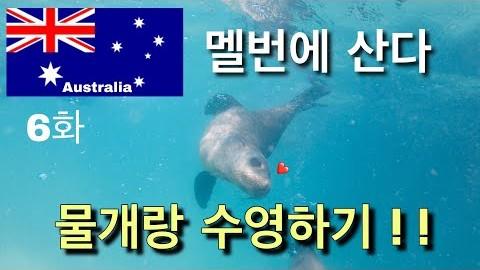 멜번에 산다 -  수십마리 물개와 함께 수영하는 잊을수 없는 좋은기억 6화 (Swim With Seal in Melbourne)