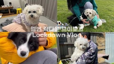 비숑이랑 한중부부 세식구 평범한 멜번살이 / 보더콜리 퍼피 입양! Lockdown Vlog Border Collie Puppy